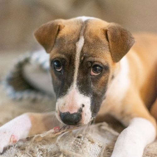 Tilly - Staffordshire Bull Terrier Dog