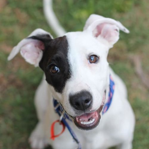 Gem - Fox Terrier Dog