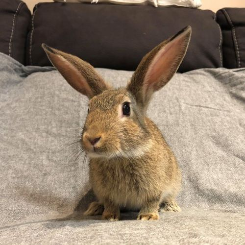 Buddy - Domestic Rabbit