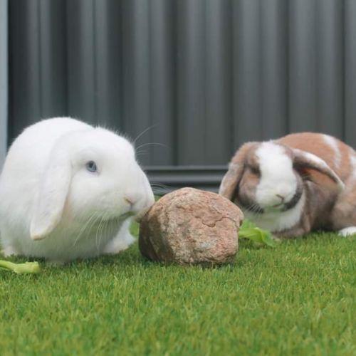 Rosie & Snowball - Dwarf lop Rabbit