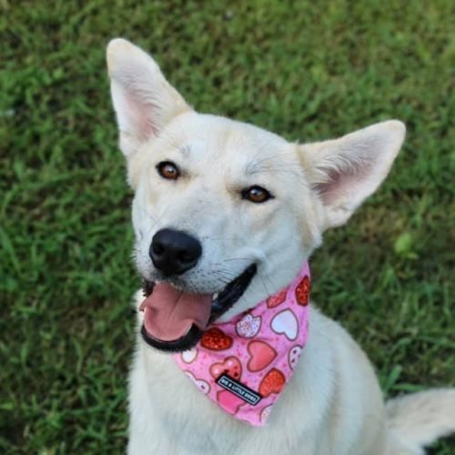 Alyra  - Husky x Kelpie Dog