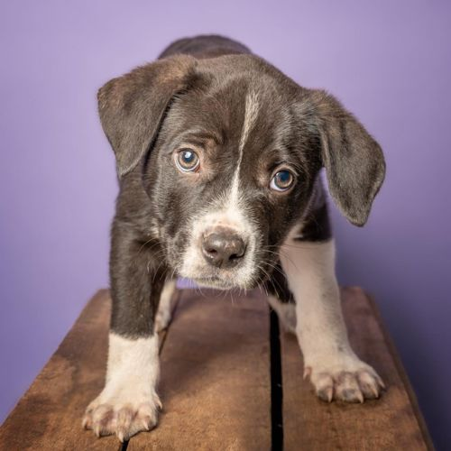 Search Rescue Dogs and Puppies - PetRescue