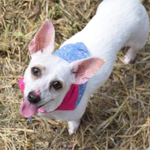 Chloe - Chihuahua Dog
