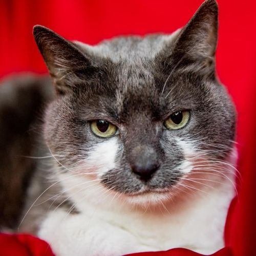 Bella - Located in Lalor - Domestic Short Hair Cat