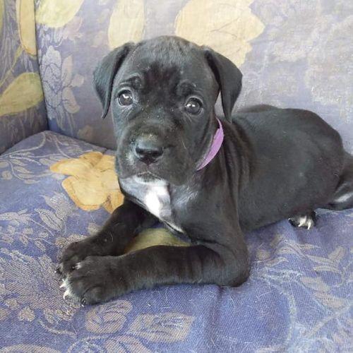 Isla - Neapolitan Mastiff x Mastiff Dog