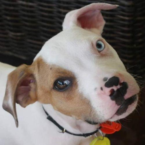 Samson - Bull Arab Dog