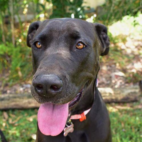 Kali - Great Dane Dog