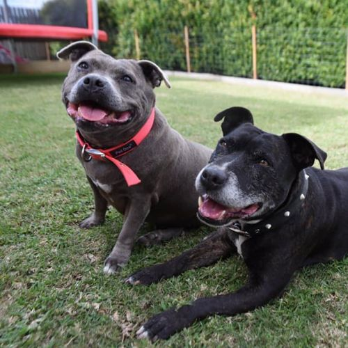Molly & Max - Staffy Dog