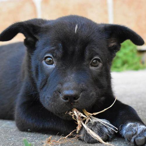 Memphis - Shar-Pei Dog