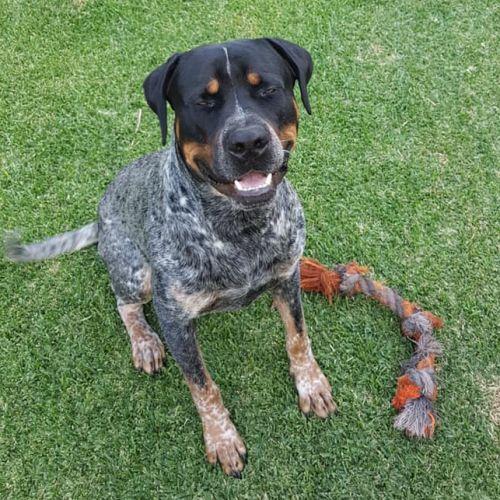 Splinter - Rottweiler x Staffy Dog