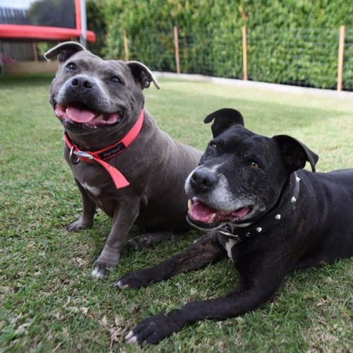 Max & Molly - Staffy Dog