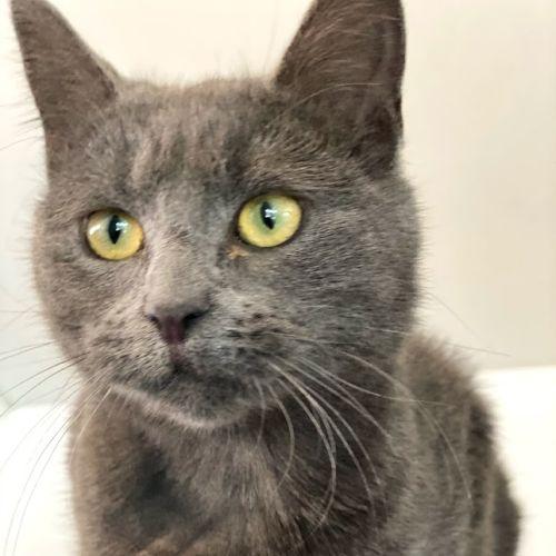 Bluebell - Domestic Short Hair Cat