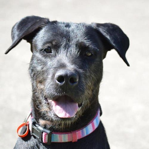 Sami - Wolfhound Dog