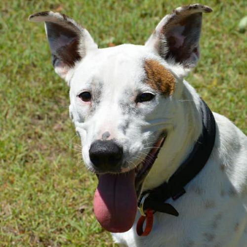 Larry - Australian Cattle Dog x Staffy Dog