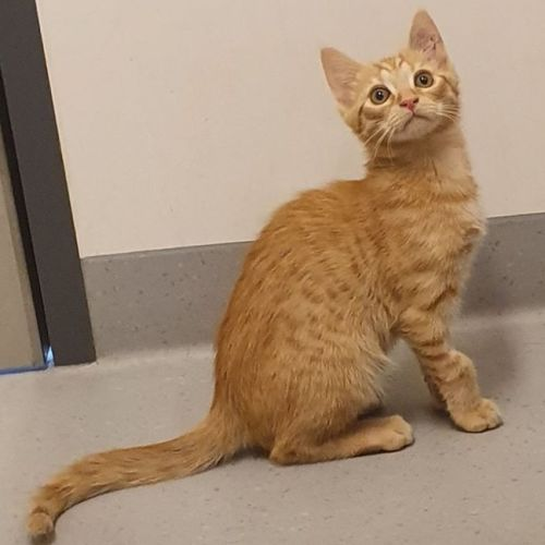 Nelson - Located in Williamstown - Domestic Short Hair Cat