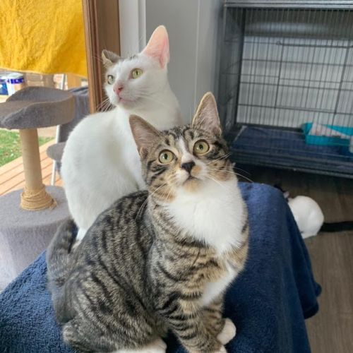 Cupid and Valentino - Domestic Short Hair Cat