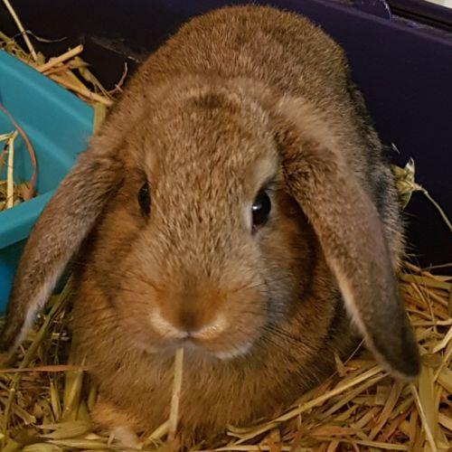 Asta - Mini Lop Rabbit