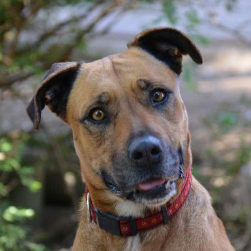 Tammy - Mastiff Dog