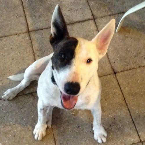 Trixie - Bull Terrier x Staffy Dog