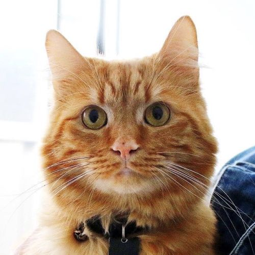Jaffa ~ 2 year old cat - Domestic Short Hair Cat