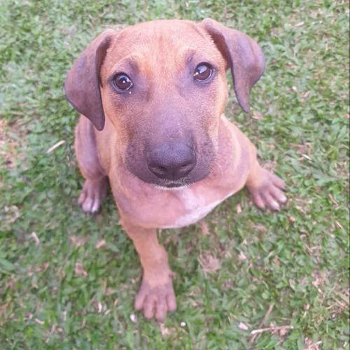 Dotti - Wolfhound Dog