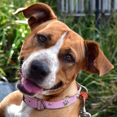 Tipsy - Staffordshire Bull Terrier Dog