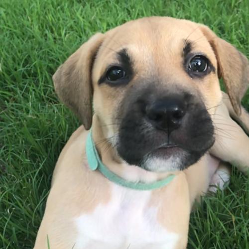 Sherbie - Mastiff Dog