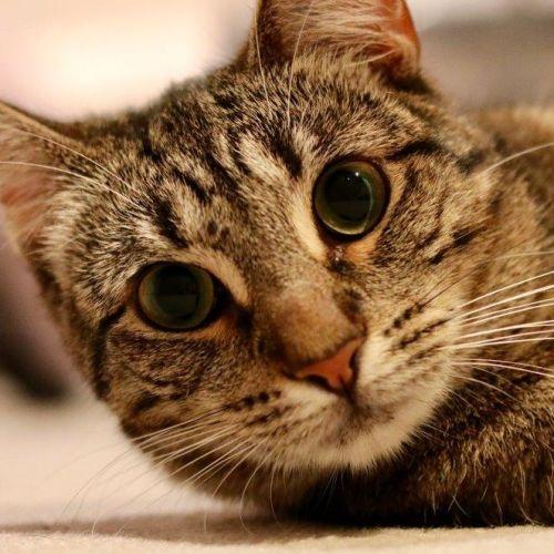 Veronica - Domestic Short Hair Cat