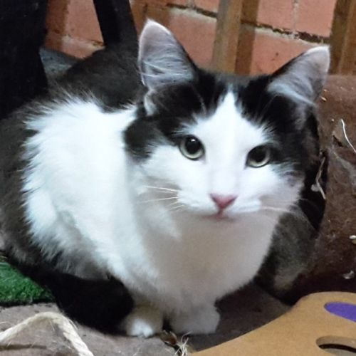 Missy - Located in Lower Templestowe - Domestic Short Hair Cat