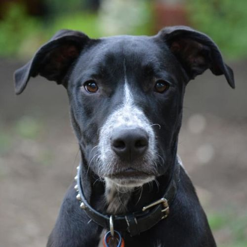 Diesel - American Staffordshire Terrier x Australian Cattle Dog