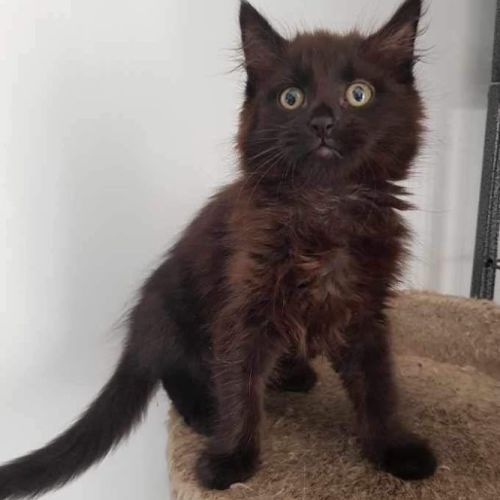 Marley - Domestic Long Hair Cat