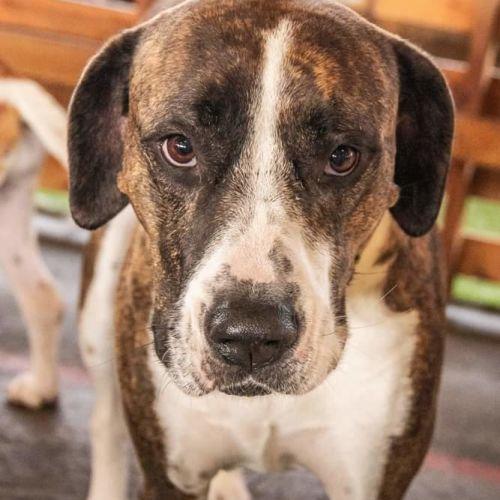 Bella - Pointer Dog