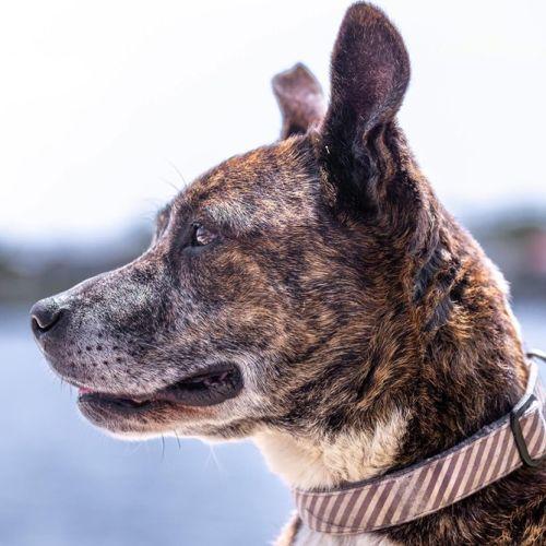 Gus - Staffordshire Bull Terrier Dog