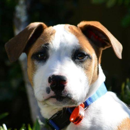 Bohdi (Adoption Pending) - Bull Arab Dog