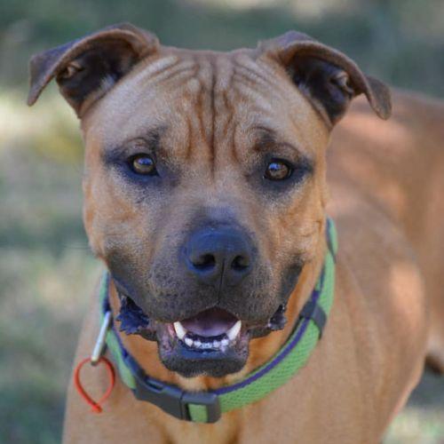 Milo - Boxer x American Staffordshire Bull Terrier Dog