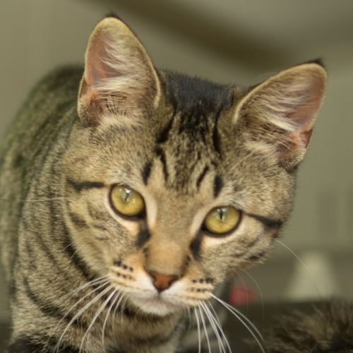 Neve **On Hold** - Domestic Short Hair Cat