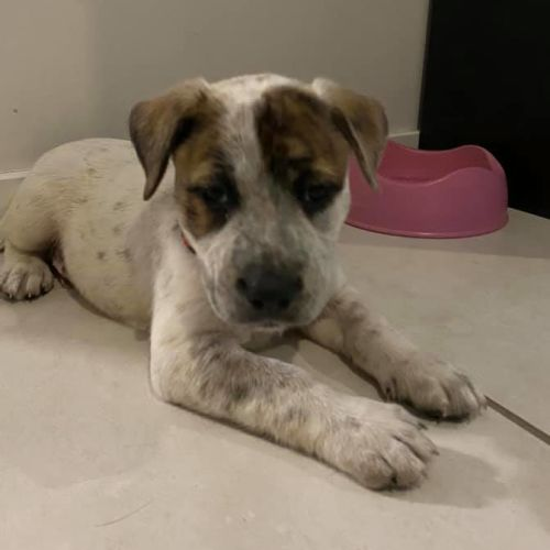 Dumpling ~ Adoption Pending ~ - Staffordshire Bull Terrier x Australian Cattle Dog