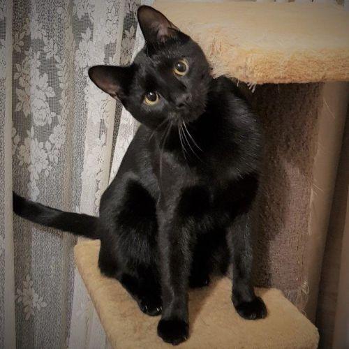 Meriville Black - Domestic Short Hair Cat