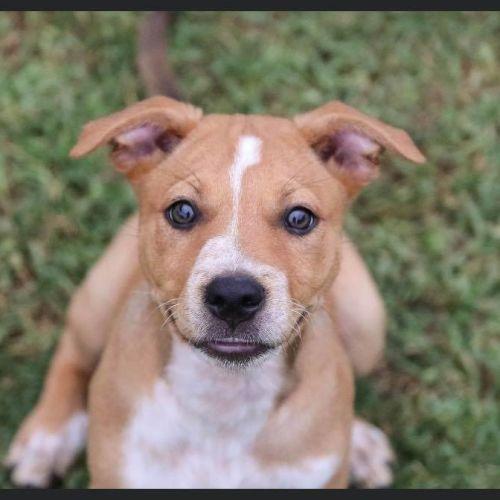 Shilou - Staffy x Red Heeler Dog