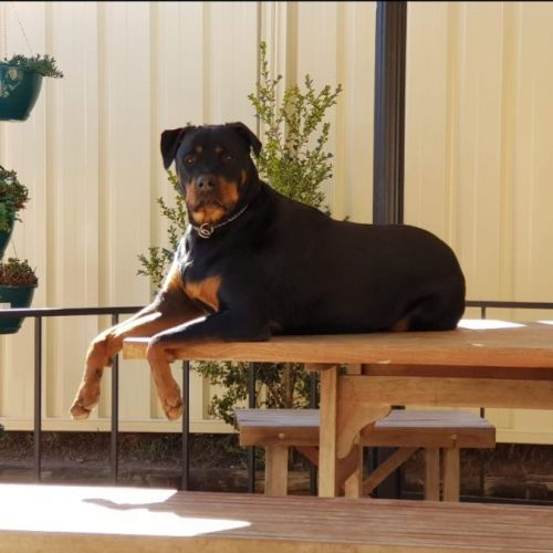 No photo for Brock ** Pure Breed Rottweiler **