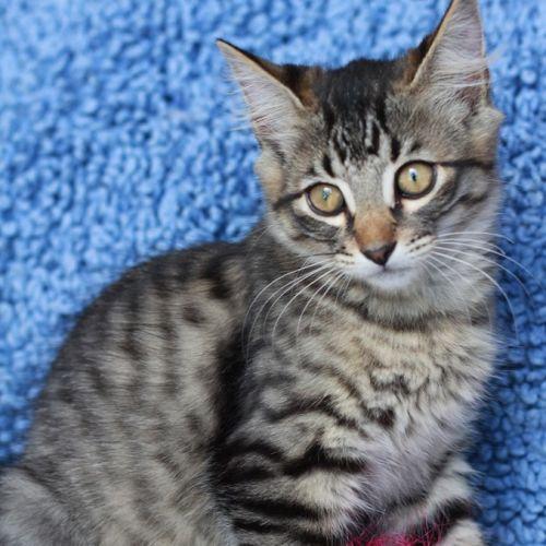 Kayto - Domestic Medium Hair Cat