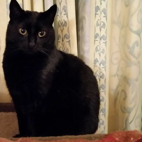 Kelly **2nd Chance Cat Rescue** - Domestic Short Hair Cat