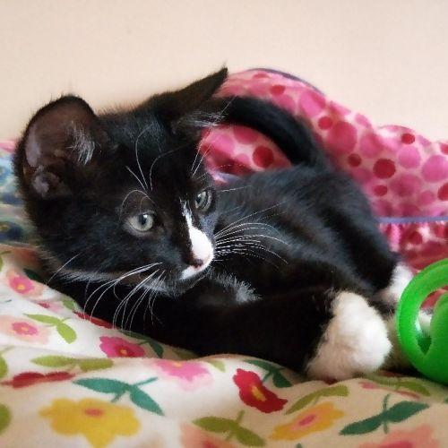 Bullet - Domestic Short Hair Cat