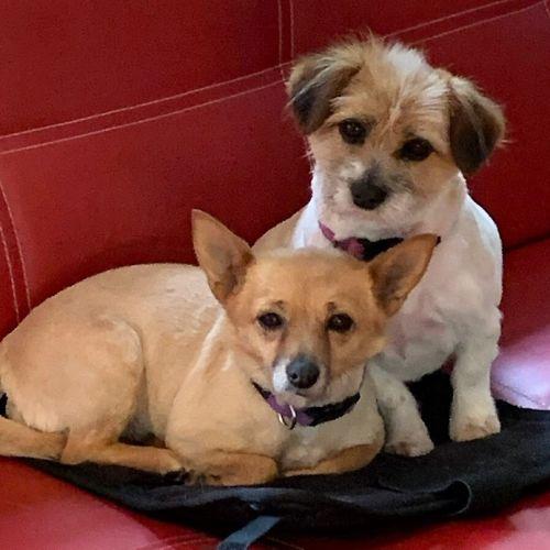 Lilly & April Ivarsson - Fox Terrier x Pomeranian Dog