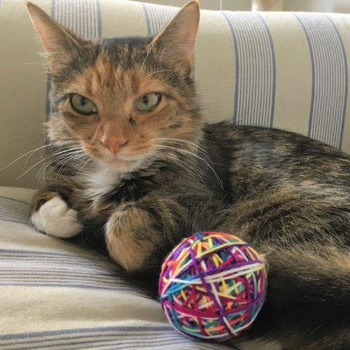 Octavia - Domestic Short Hair Cat