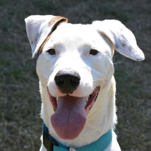 Casper - Great Dane Dog