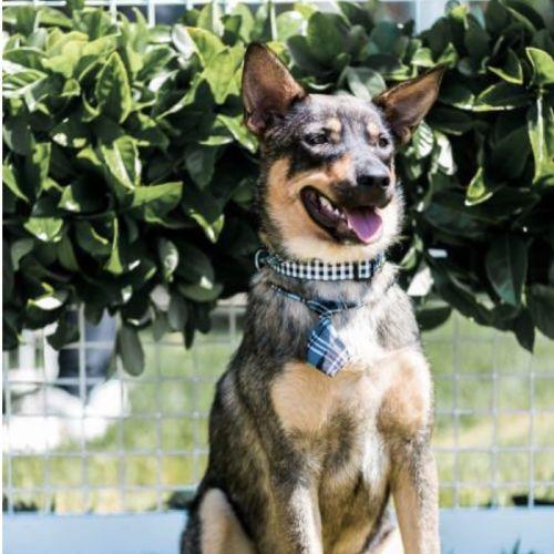 Prince  - Kelpie Dog