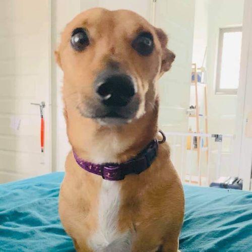Franklin - Dachshund Dog