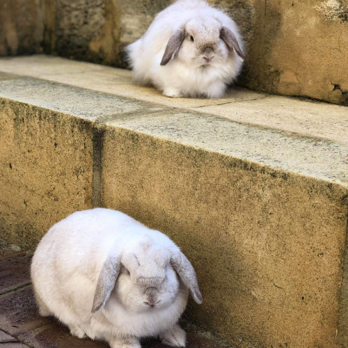 Flopsy and Mopsy - Cashmere Rabbit