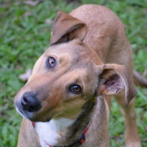Clara - Kelpie Dog